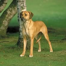 Dog Breed With Stripe Down Back